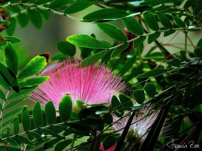 Seidenakazie (Mimosengewächs), Albizia julibrissin