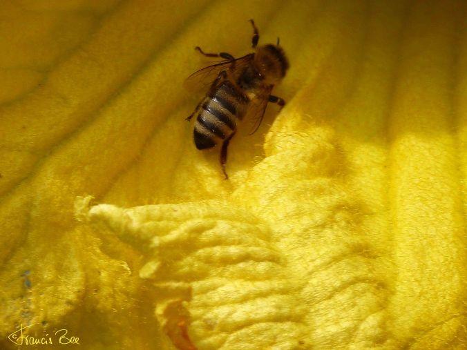 Bienentreff in Kürbisblüte