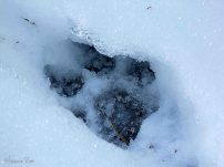 Wolfspfotenabdruck