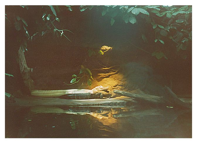 Albino-Mississippi-Alligator
